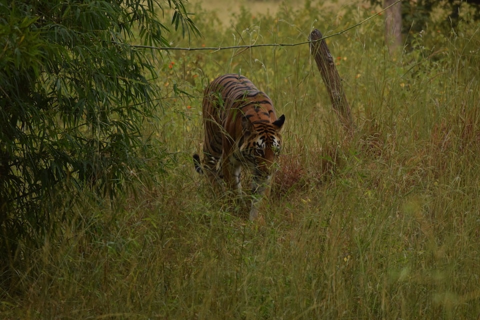 safaris de tigre en la india