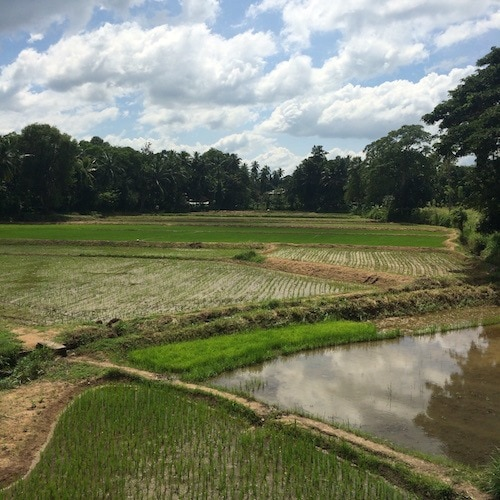 Sri Lanka train journey - paddy fields