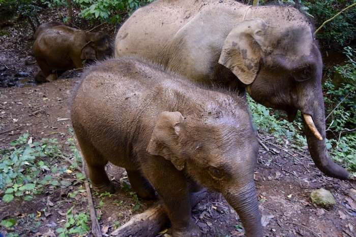 Wild elephants in thailand