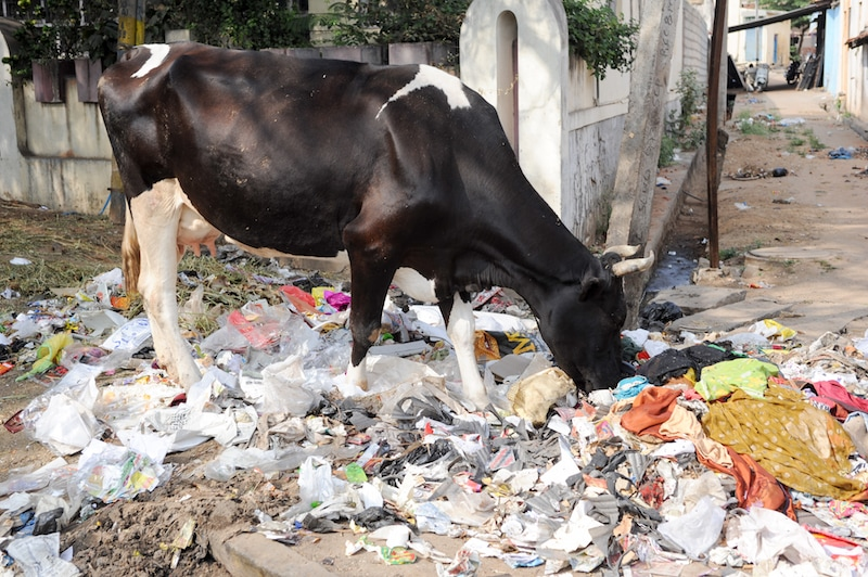 Cow eating plastic water bottles India