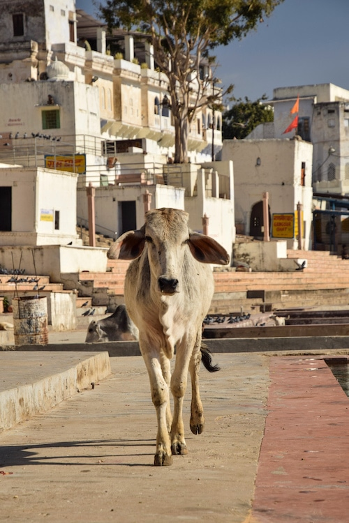 Cows by the Pushkar Lake, Rajasthan