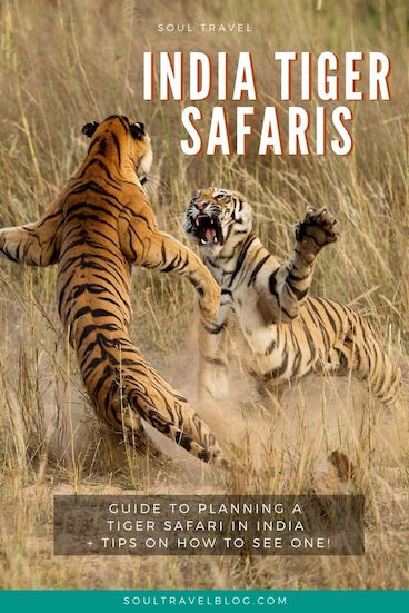 Planning travel to India and dreaming of going on a tiger safari? Our guide to tiger safaris in #india has all you need to know about planning your safari + tips on how to see a tiger! #incredibleindia #traveltips