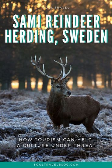 Travelling to Sweden? DOn't miss out on visiting Swedish Lapland and learning more about the Sami People and reindeer herders in the arctic circle! #sweden #responsibletravel #traveltips #reindeer
